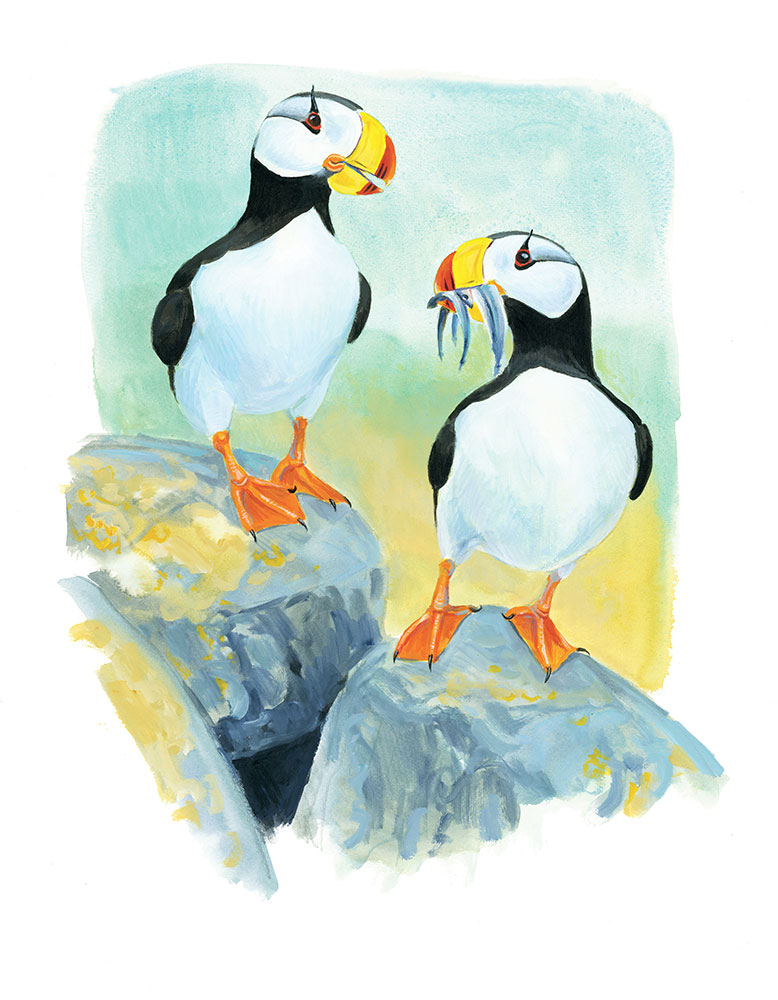 Horned Puffins island conservation