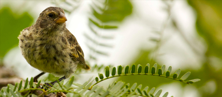 island conservation self-medicating finch