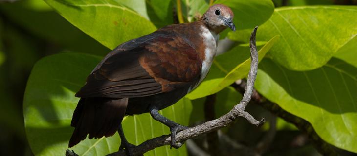 island conservation science tutururu