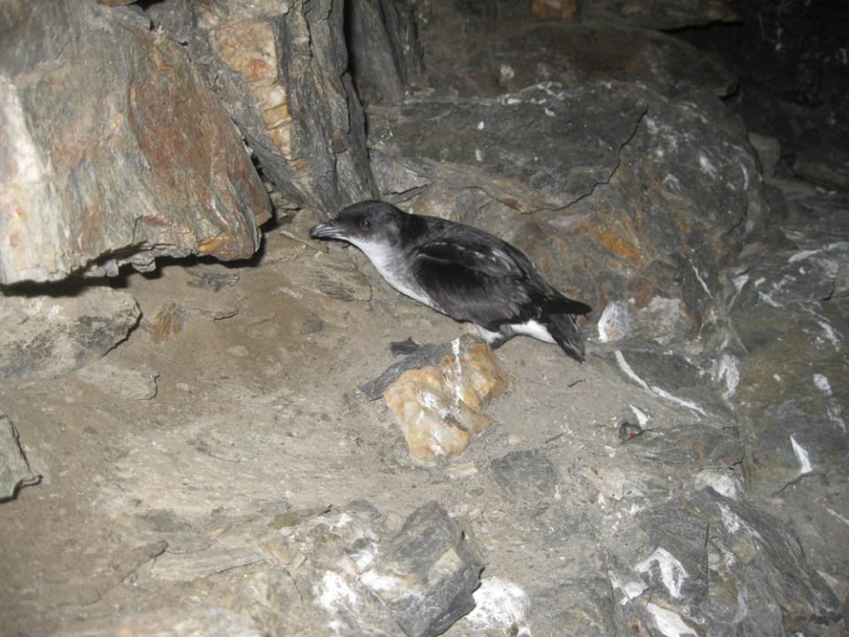 island conservation science peruvian diving petrel