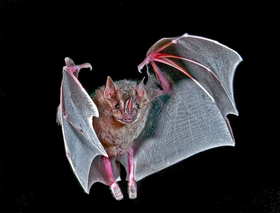 island conservation bat flight