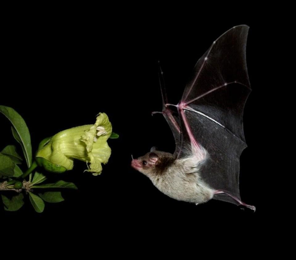 island conservation bat flower