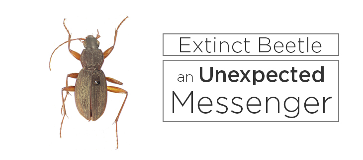 island conservation extinct beetle new species
