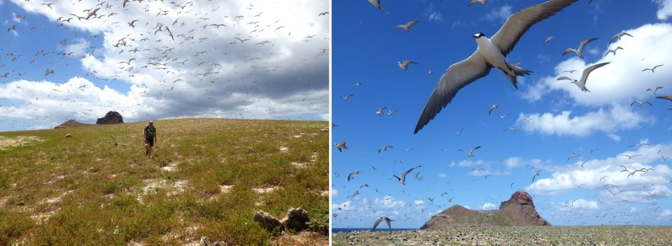 island conservation preventing extinctions sooty terns