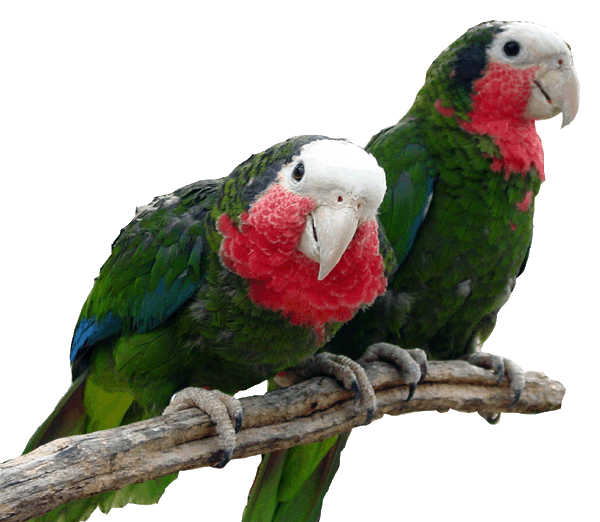 island conservation bahamas parrot