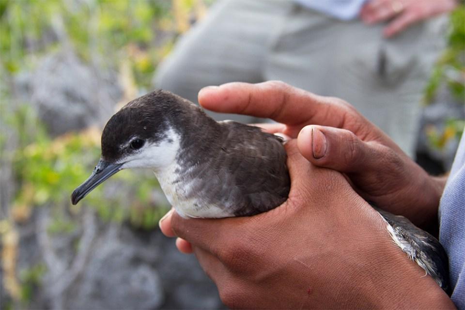 island conservation rochelle newbold lynn gape shearwater bahamas