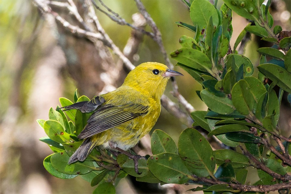island conservation invasive feral pigs honeycreeper