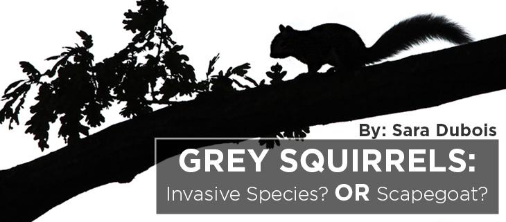 island-conservation-grey-squirrels-sara-dubois-feat