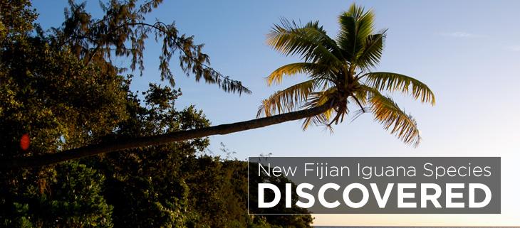 island-conservation-preventing-extinctions-gau-island-fijian-iguana-Feat