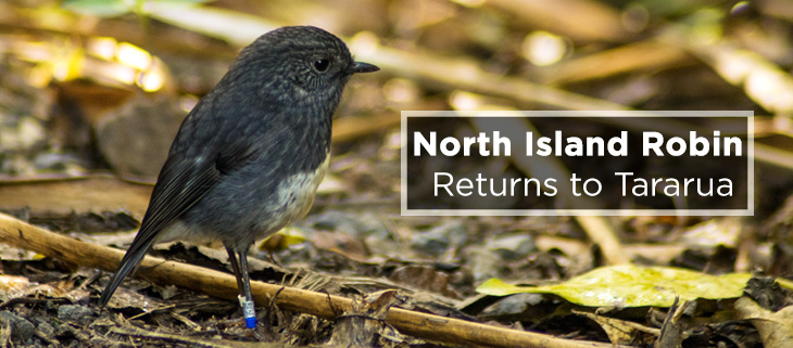 island-conservation-preventing-extinctions-north-island-robin-feat