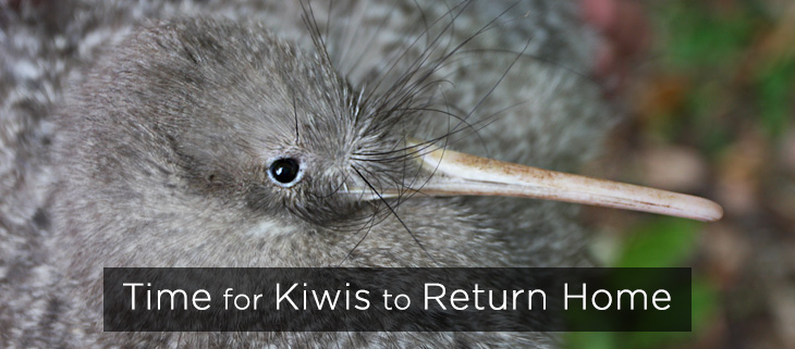 island-conservation-preventing-extinctions-little-spotted-kiwi-feat