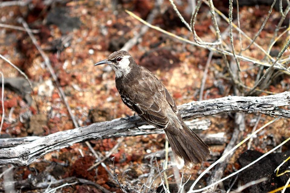 island-conservation-paula-floreana-mockingbird
