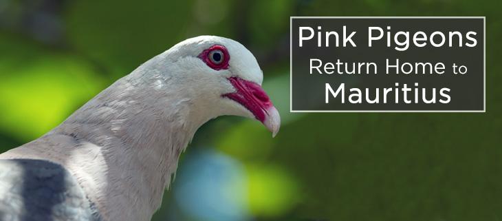 island-conservation-pink-pigeon-captive-breeding-feat