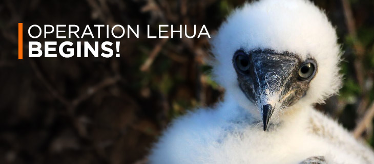 lehua island operation hawaii red footed booby juvenile