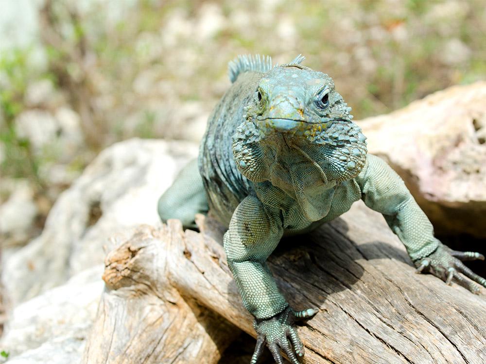 Island Conservation Disease Befalls Endangered Blue Iguanas - Island Conservation