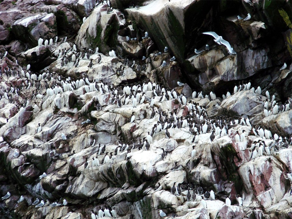 island-conservation-common-murre-colony