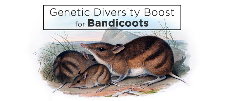 island-conservation-preventing-extinctions-eastern-barred-bandicoots-genetic-diversity-feat2