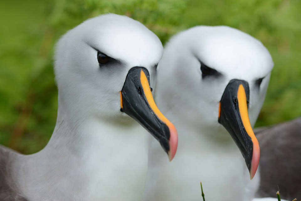 island conservation yellow-nosed albatross island science preventing extinctions