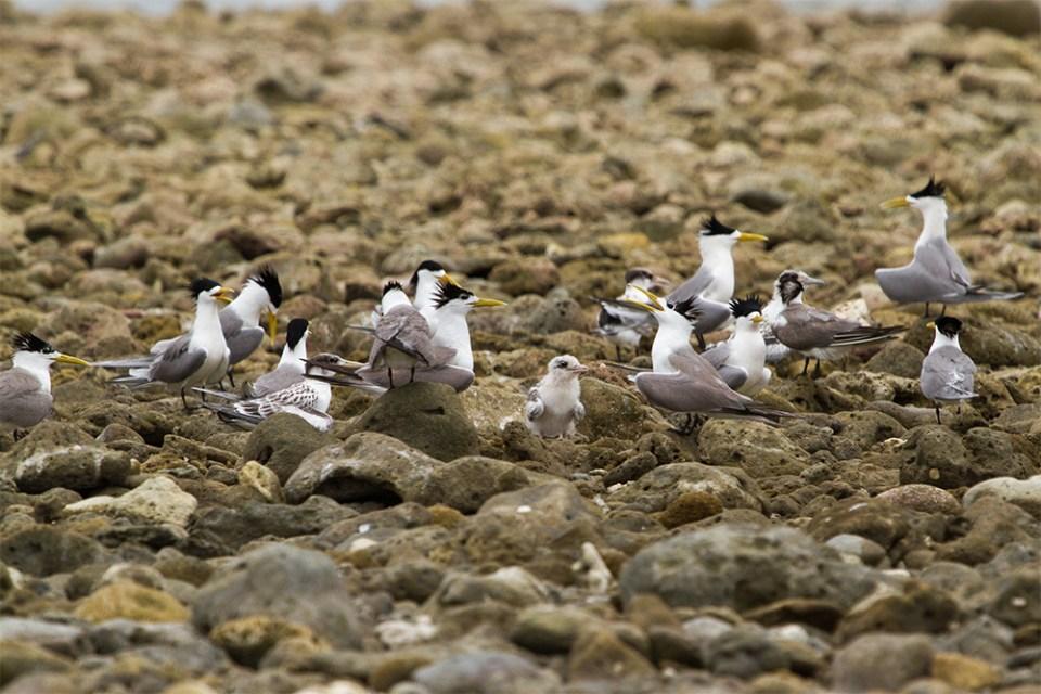 island-conservation-preventing-extinctions-kayangel-biodiversity-palau-tommy-hall-terns