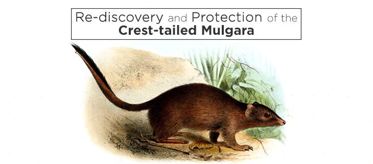 island-conservation-crest-tailed-mulgara-feat