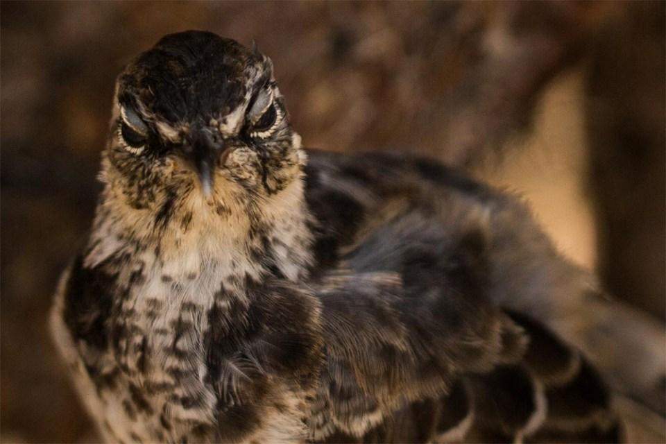 island-conservation-feral-cats-floreana-mockingbird