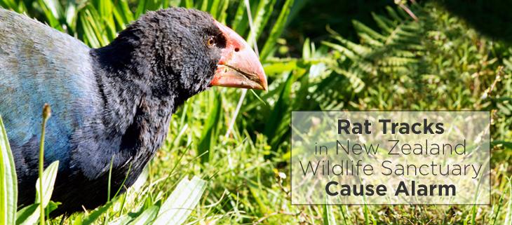island-conservation-invasive-species-rat-new-zealand-tiritiri-matangi-feat