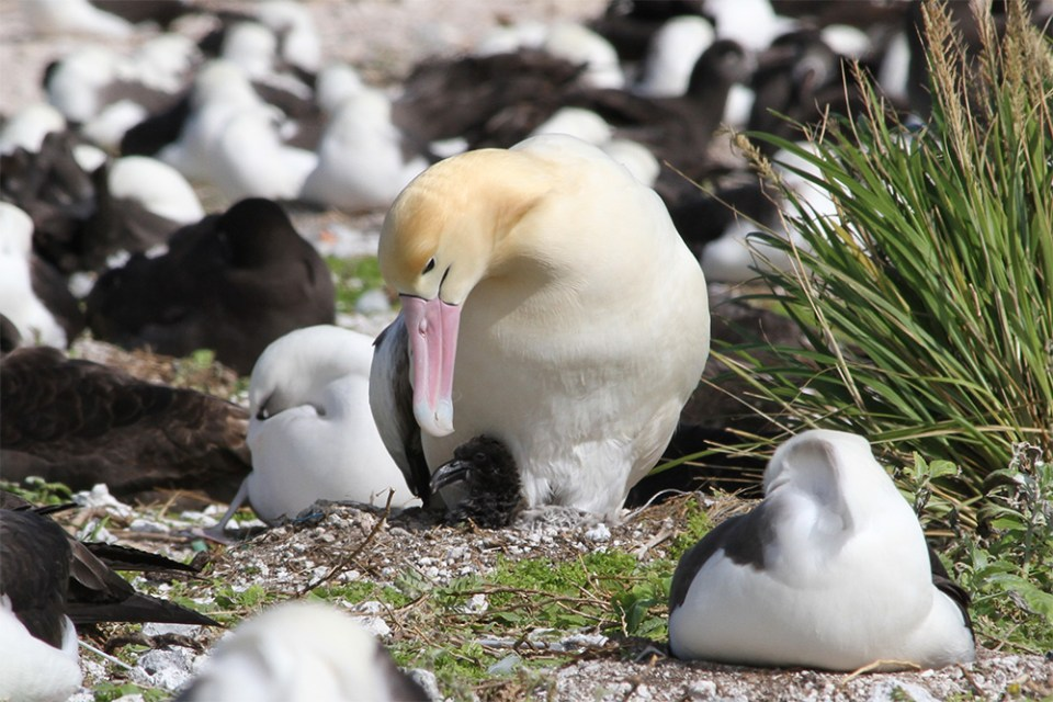 island-conservation-midway-atoll-albatross