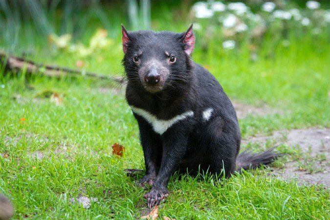 island-conservation-invasive-species-preventing-extinctions-Tasmanian-Devil