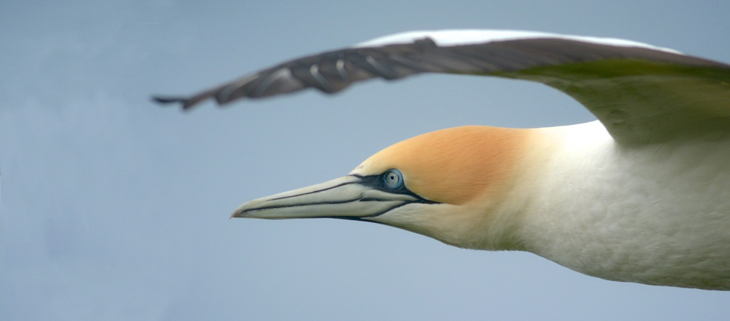 island-conservation-preventing-extinctions-invasive-species-nigel-gannet-mana-island-feat