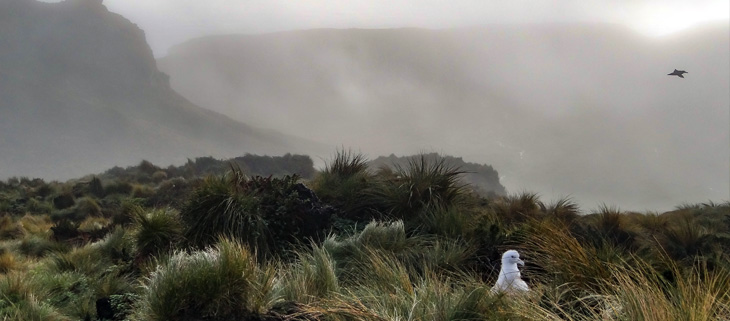 island-conservation-preventing-extinctions-invasive-species-Albatross-Chick-Feat