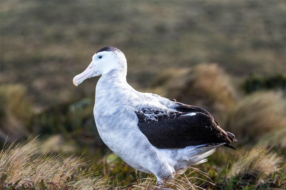 island-conservation-preventing-extinctions-invasive-species-Antipodes-Wandering-Albatross-adult