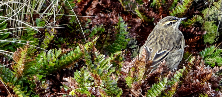 island-conservation-invasive-species-preventing-extinctions-antipodes-island-pipit-feat