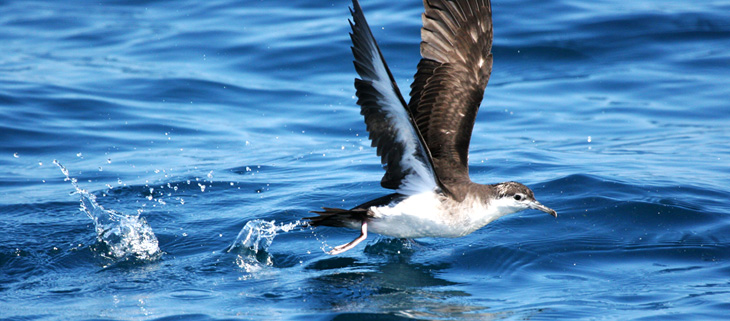 island-conservation-invasive-species-preventing-extinctions-seabird-social-attraction-desehceo-island-audubon-shearwater-feat