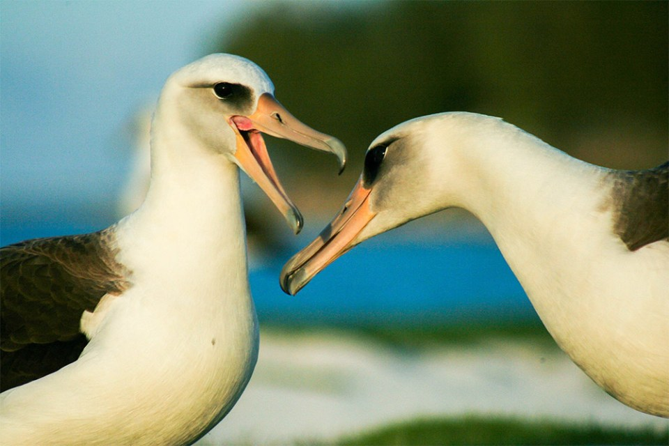 island-conservation-preventing-extinctions-invasive-species-friends-of-Midway-Atoll-Albatross-breeding-pair