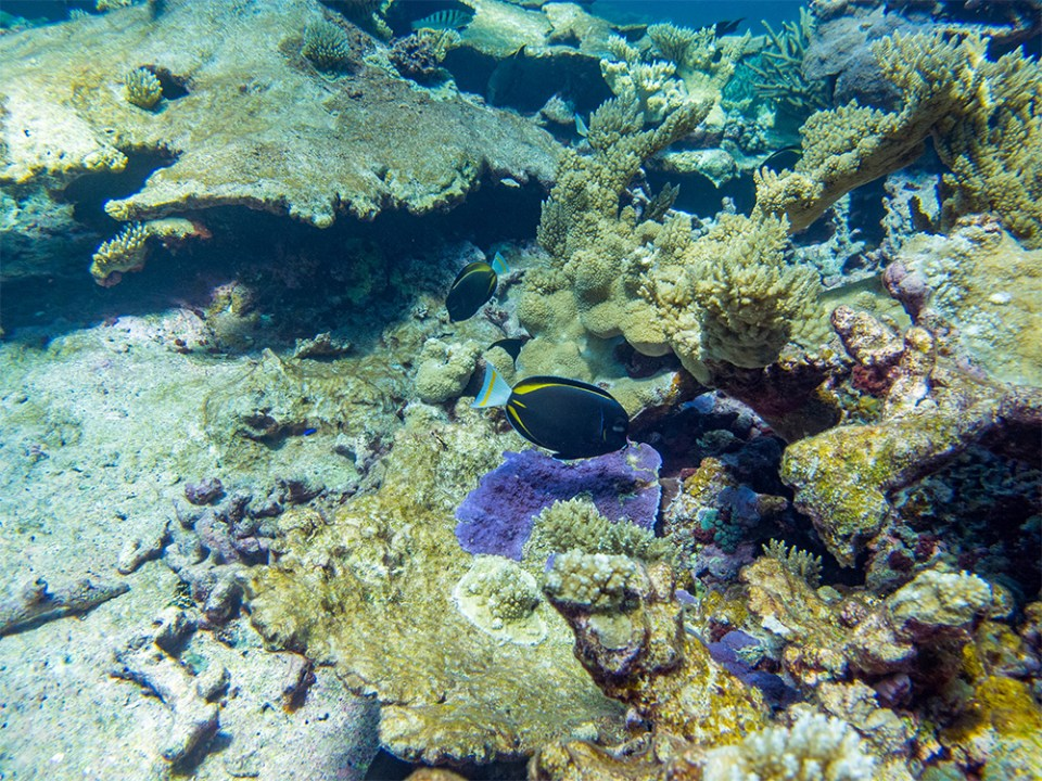 island-conservation-invasive-species-preventing-extinction-coral-reef-fish-palmyra-atoll-invasive-species-removal-science