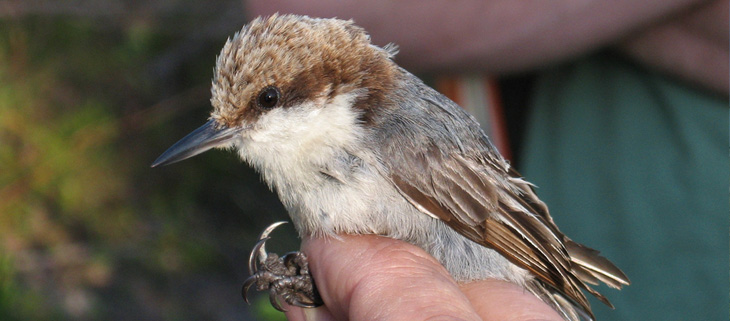 island-conservation-invasive-species-preventing-extinctions-bahama-nuthatch-feat