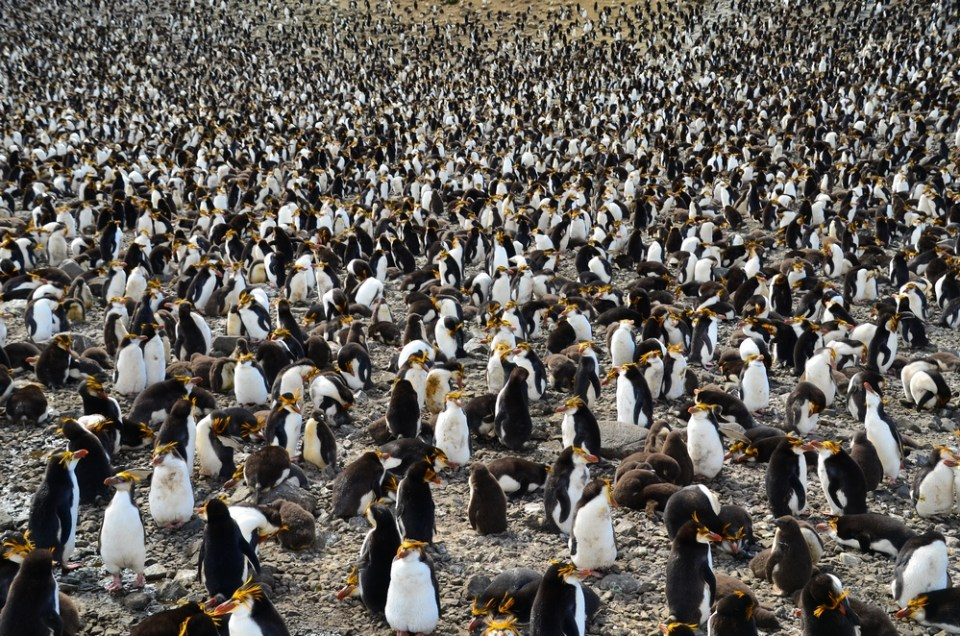 island-conservation-invasive-species-WHYY-podcast-Macquarie-Island-penguins