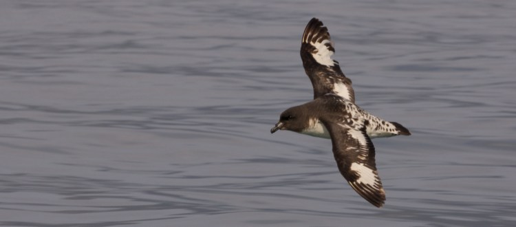 island-conservation-invasive-species-WHYY-podcast-Macquarie-Island-cape-petrel