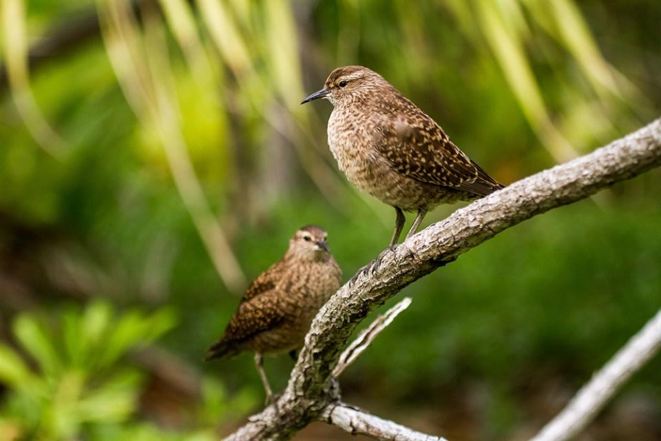 island-conservation-invasive-species-preventing-extinctions-CEMEX-island-book-Endangered-Tuamotu-Sandpiper