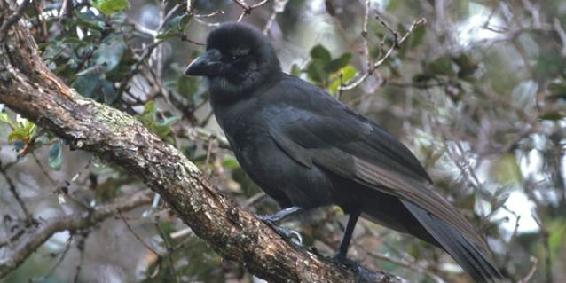 island-conservation-invasive-species-hawaii-dlnr-alala
