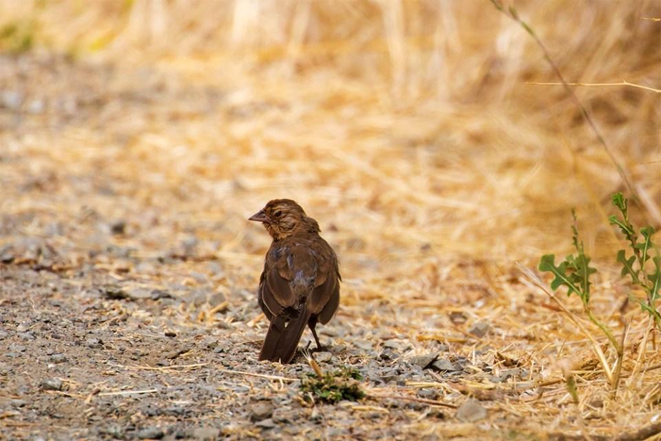 island-conservation-invasive-species-preventing-extinctions-california-towhee-franzen-birds