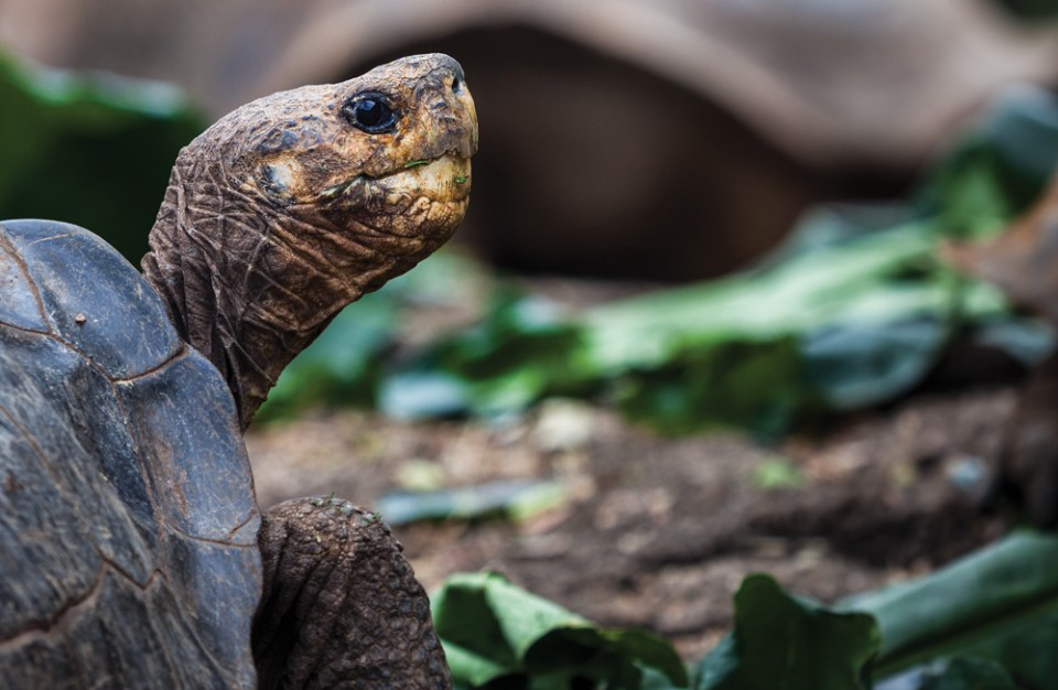 island-conservation-invasive-species-preventing-extinctions-giving-tuesday-rachel-wadsworth-pinzon-tortoise