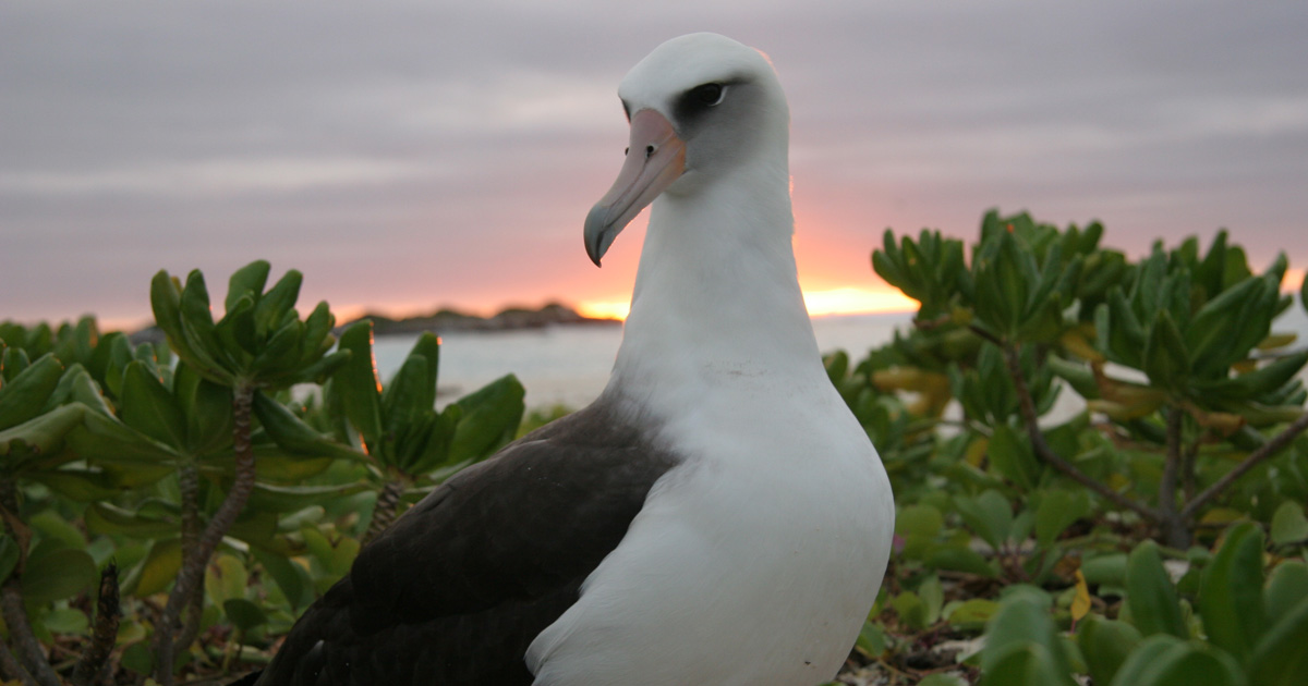 island-conservation-invasive-species-preventing-extinctions-laysan-albatross-risk-2018-review