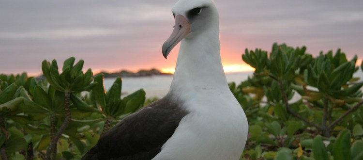 island-conservation-invasive-species-preventing-extinctions-laysan-albatross-risk-2018-review