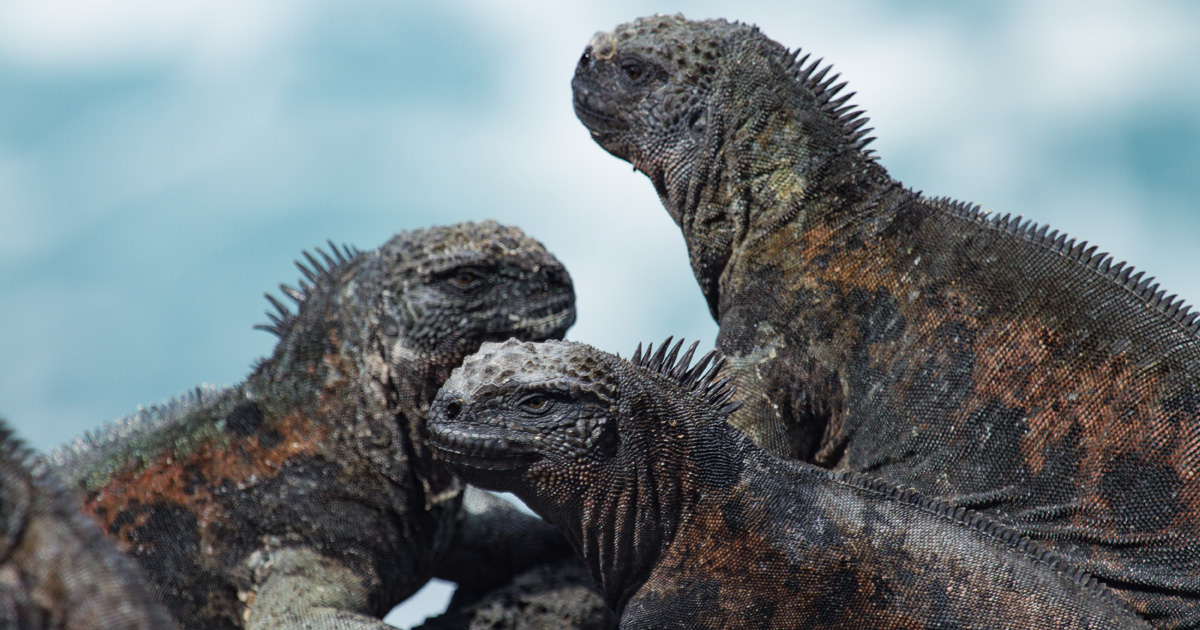 island-conservation-invasive-species-preventing-extinctions-galapagos-climate-change-marine-iguana-new-york-times