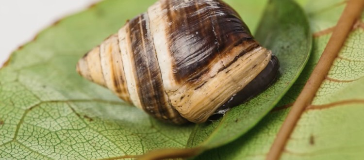 island-conservation-invasive-species-preventing-extinctions-lonely-george-achatinella-apexfulva-hawaii-snail