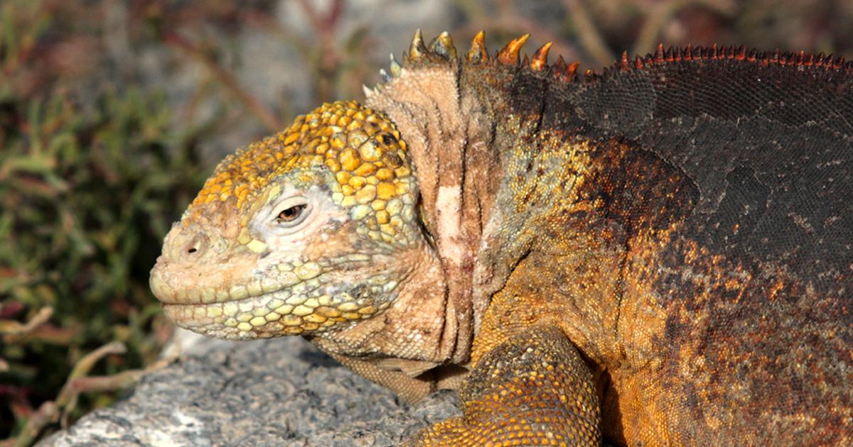 island-conservation-invasive-species-preventing-extinctions-seeker-video-santiago-island-galapagos-land-iguana-fb