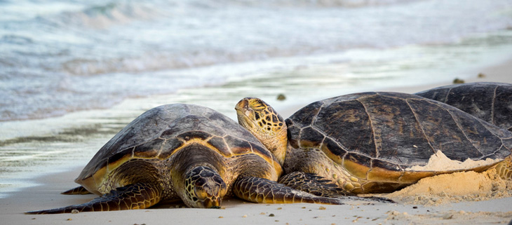 island-conservation-invasive-species-preventing-extinctions-green-sea-turtles-midway-atoll-feat