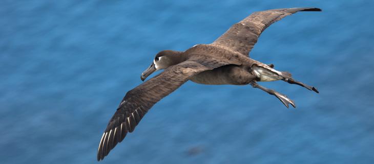 island-conservation-invasive-species-preventing-extinctions-black-footed-albatross-lehua-un-high-seas-treaty-marine-conservation-seabirds-feat