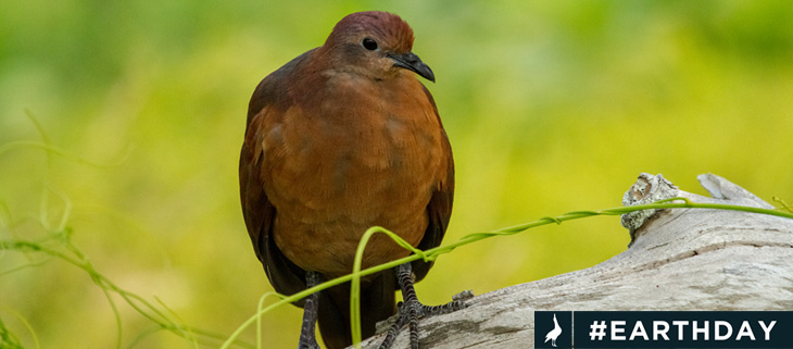 island-conservation-invasive-species-preventing-extinctions-polynesian-ground-dove-acteon-gambier-fb-earth-day